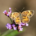 Butterfly On Verbena by Robert E Alter Reflections of Infinity