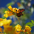 Butterfly Pollinating Flowers  by Donna Greene