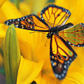 Butterfly by Tim Allen