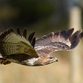 Buzzard In Flight by Bob Kemp