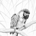 Bw Parrot by Phyllis Howard