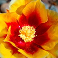 Cactus Flower V by M Diane Bonaparte