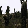 Cactus Gathering by Kevin Igo