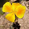 California Poppy by Stephanie Moore