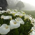 Calla Lilies Zantedeschia Aethiopica by Keenpress