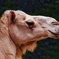 Camel by Steven Natanson