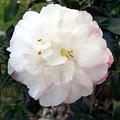 Camellia by Frederic Kohli