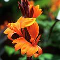 Canna Lily 'roi Humbert' by Adrian Thomas