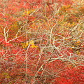 Cape Cod National Seashore Dwarf Beech Foliage by John Burk