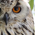 Cape Eagle-owl by Shelly OBrien