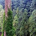 Capilano Canyon Ivy by Will Borden