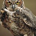 Captive Great Horned Owl, Bubo by Raymond Gehman