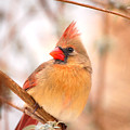 Cardinal Bird Female by Peggy Franz
