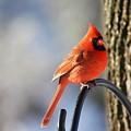 Cardinal by Danielle Gareau