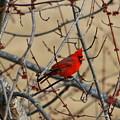 Cardinal by David Dunham