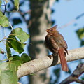 Cardinal Fledged by Peggy King