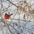 Cardinal In Winter 2 by David Arment