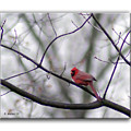 Cardinal Perched On A Branch by Brian Wallace