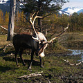 Caribou In Autumn by Dianne Roberson