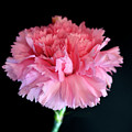 Carnation by David  Hollingworth