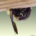 Carpenter Bee Macro by Brian Wallace