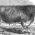 Cattle, C1880 by Granger