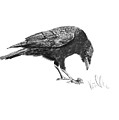 Caw Of The Wild by Barb Kirpluk