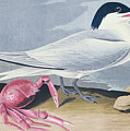 Cayenne Tern by John James Audubon