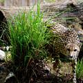 Cheetah by Christina Durity