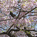 Cherry Blossom Tree by Wendy Fike