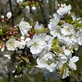 Cherry Blossom by Valerie Ornstein