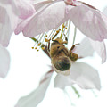 Cherry Blossom With Bee by Steven Natanson