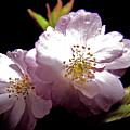 Cherry Blossoms by Debra     Vatalaro
