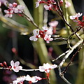 Cherry Blossoms by Samantha Kimble