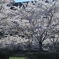 Cherry Blossoms by Terese Loeb Kreuzer