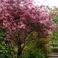 Cherry Spring Blossom by Valia Bradshaw