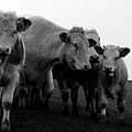 Cheshire Cattle by John Bradburn