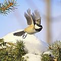 Chickadee-13 by Robert Pearson