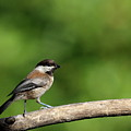 Chickadee . 40d8031 by Wingsdomain Art and Photography