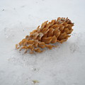 Chilly Pine Cone In Snow by Kent Lorentzen