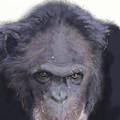 Chimp by Robert Bissett