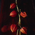 Chinese Lanterns by Art Ferrier