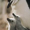 Chinstrap Penguin Pygoscelis Antarctica by Tui De Roy