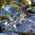 Chipmunk On The Rocks by Ben Upham III