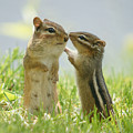 Chipmunks In Grasses by Corinne Lamontagne