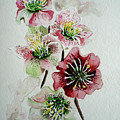 Christmas Rose by Karin  Dawn Kelshall- Best