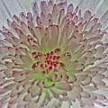 Chrysanthemum by Brian Roscorla