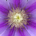 Clematis by Christopher Gruver