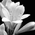 Clivia Flowers Black And White by Jennie Marie Schell