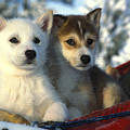 Close Up Of Siberian Husky Puppies by Nick Norman